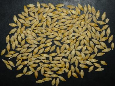 c 233 r 233 ales et graines dans les recettes de cuisine m 233 di 233 vale du moyen age orge ble noir sarrazin