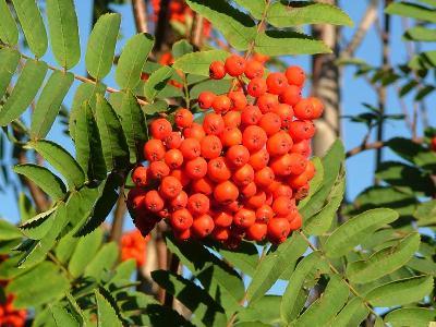 Fruits anciens oubli s et les fruits secs dans les recettes de la cuisine m di vale du moyen ge - Arbre murier fruit comestible ...